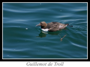lien_guillemot-de-troil.jpg