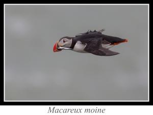 lien_macareux-moine.jpg