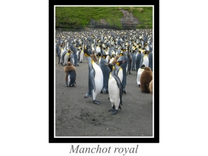 lien_manchot-royal.jpg