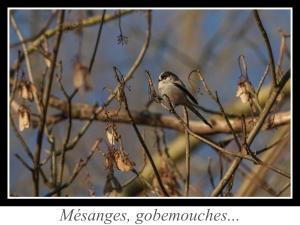 lien_mesanges-gobemouches.jpg