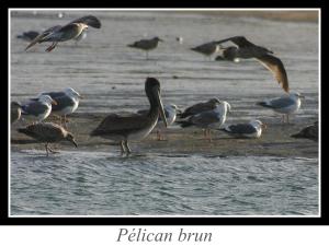 lien_pelican-brun.jpg