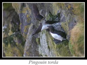 lien_pingouin-torda.jpg