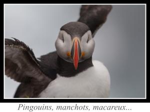 lien_pingouins-manchots-macareux.jpg
